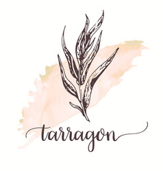 tarragon hand drawn sketch on watercolor paint vector image