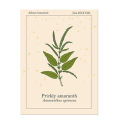 prickly amaranth amaranthus spinosus or needle vector image
