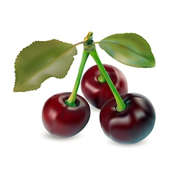 sweet cherries vector image vector image