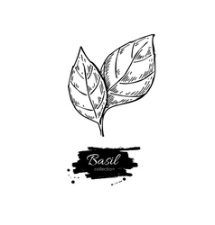 Basil drawing Isolated Basil leaves vector