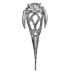 Pterichthys cornutus vintage vector