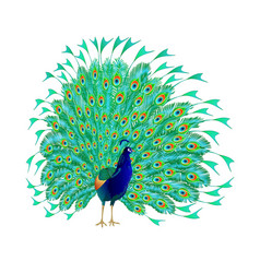 tropical bird beauty peacock vector image