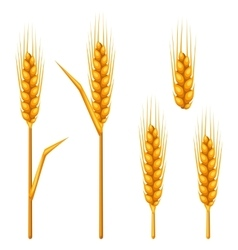 Ears of wheat barley or rye Agricultural image vector image