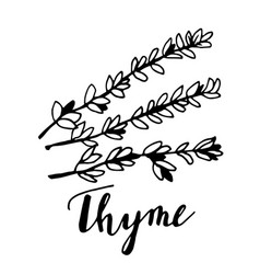 Hand drawn thyme plant with leaves isolated on vector