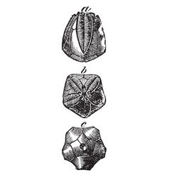 Pentremites florealis vintage vector