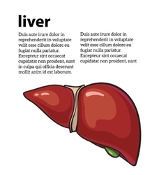 Healthy human liver vector image