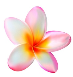 Pink plumeria flower vector