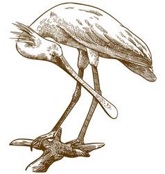 engraving eurasian spoonbill vector image