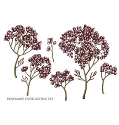 set hand drawn colored rosemary vector image