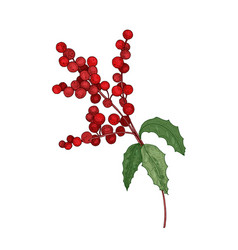 colored detailed botanical drawing of holly branch vector image