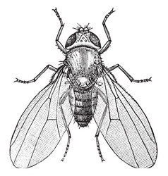 Common fruit fly vintage vector