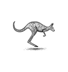 kangaroo design vector image