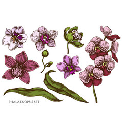 set hand drawn colored phalaenopsis vector image