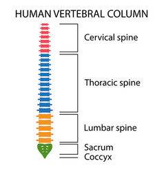 Vertebral column spine structure vector