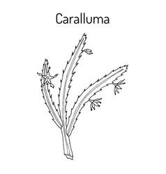 caralluma fimbriata medicinal plant vector image