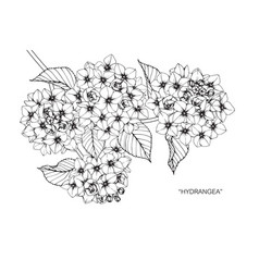 hydrangea flower drawing vector image