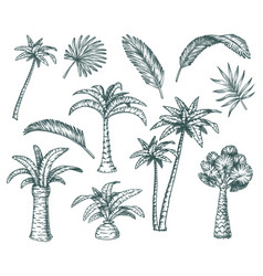 set isolated palm sketch tropical coconut tree vector image