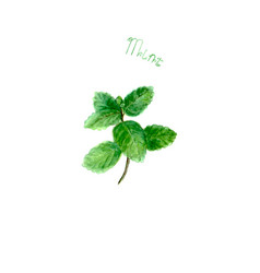 Mint herb spice isolated on white background vector