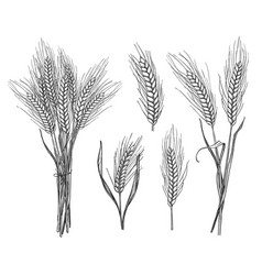 wheat ear hand drawn sketch set vector image