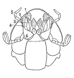 ventral view of dung beetle vintage vector image