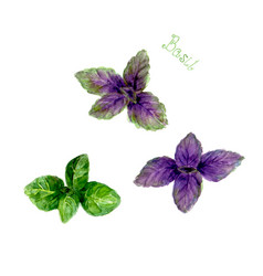 Basil leaves isolated on white background vector