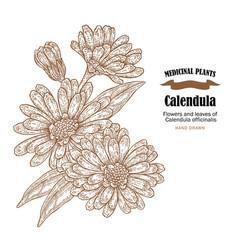 calendula plant flowers ans leaves vector image