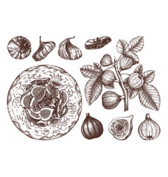 Summer fruits - figs sketches collection vintage vector