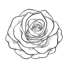 Black and white rose isolated vector