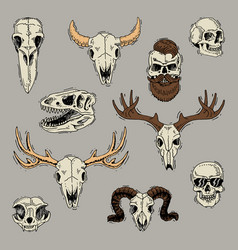 Skulls boned head of animals of bull goat vector