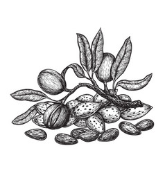 almond hand drawing vintage style engraving vector image