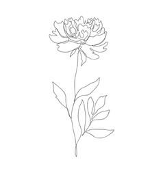 beautiful peony flower line art vector image