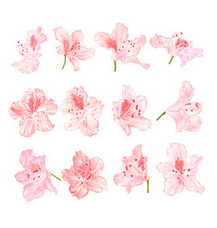 Pink light flowers rhododendrons mountain shrub vector
