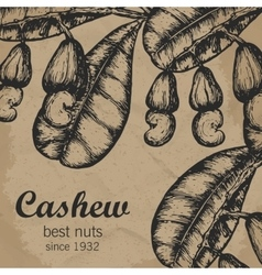Cashew branch with leaves and nuts Engraving vector