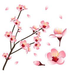 prunus persica - peach flower blossom vector image vector image