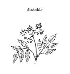 black elder medicinal plant vector image vector image