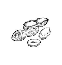 peanut isolated on white background vector image