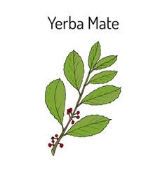 yerba mate ilex paraguariensis medicinal plant vector image