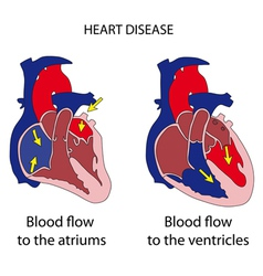 heart cross section vector image