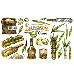 Cane sugar with leaves set sugarcane plants vector