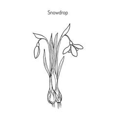 snowdrop spring flower vector image
