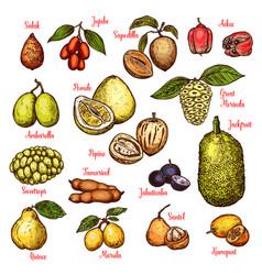 Sketch exotic tropical fruits vector