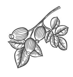 Briar rose engraved vector