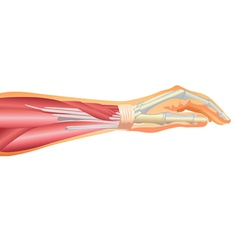 Arm muscles and tendons vector image vector image