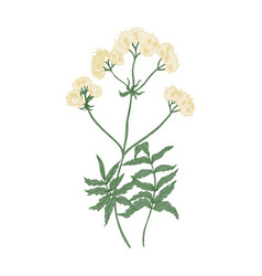 Blooming valerian flowers isolated on white vector