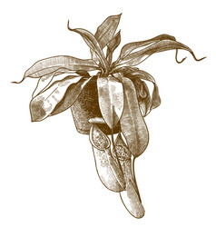 engraving antique pitcher plant vector image