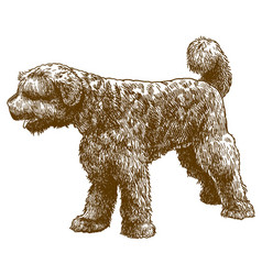 Engraving portuguese water dog vector