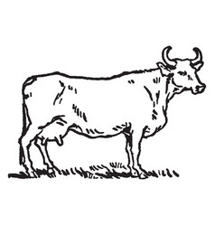 Female cow with horns vintage vector