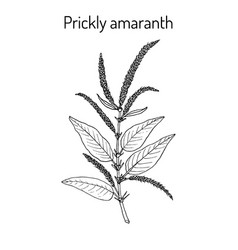 Prickly amaranth medicinal plant vector