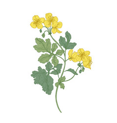 celandine or nipplewort flowers isolated on white vector image