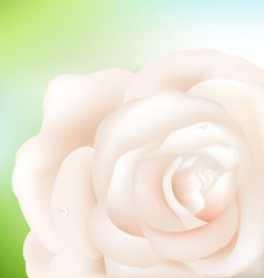 cream rose vector image